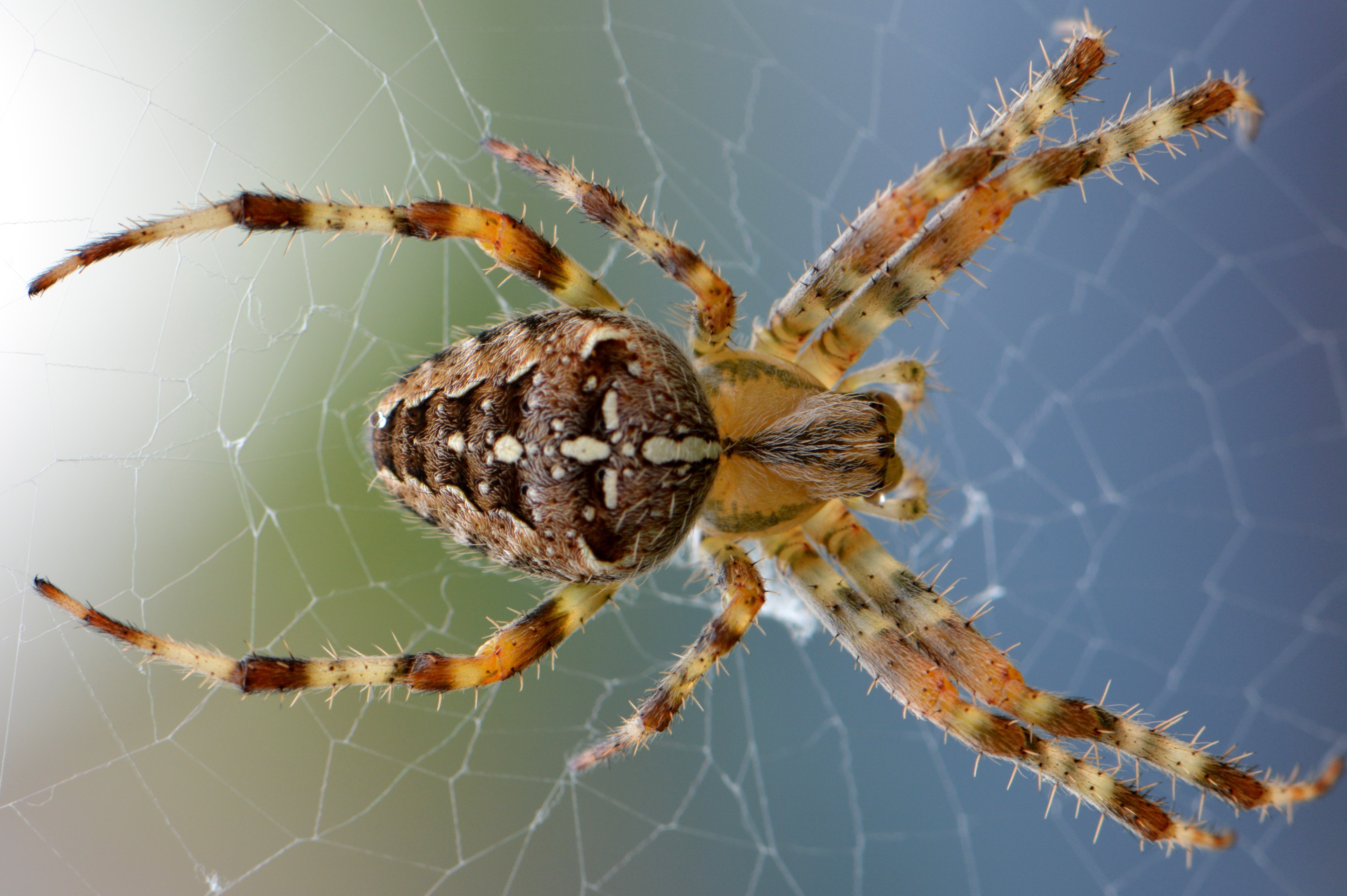brown-yellow-black-cross-orb-weaver-spider-51394